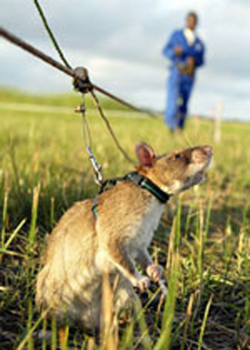 Gambian pounched rat
