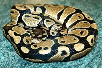Royal or Ball Python